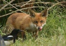 Милый дикий новичок красного Fox, лисица лисицы, лижа свои губы наблюдая, как сорока питалась в длинной траве стоковое фото
