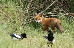 Милый дикий новичок красного Fox, лисица лисицы, наблюдая, как сороки питались в длинной траве стоковое изображение rf