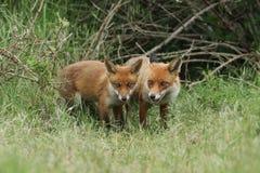 Милый дикий новичок красного Fox, лисица лисицы, стоя в длинной траве рядом с vixen стоковые изображения rf