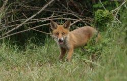 Милый дикий новичок красного Fox, лисица лисицы, стоя на входе к вертепу стоковое изображение rf