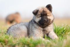 милый евроазиатский щенок Стоковые Изображения RF