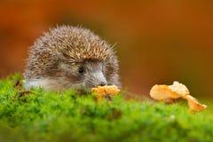 Милый европейский еж, europaeus ежа, есть оранжевый гриб в зеленом мхе Смешное изображение от природы Wi леса живой природы Стоковое Изображение