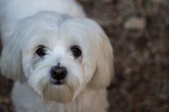 Милый женский мальтийский щенок стоя для ее портрета стоковое фото