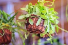 Милый зеленый завод creeper (Dischidia Nummularia Variegata) cro Стоковое Изображение