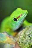 милый зеленый цвет gecko стоковое фото