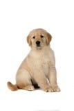 милый золотистый retriever щенка сидя все еще Стоковая Фотография
