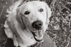 милый золотистый retriever щенка Стоковое Фото