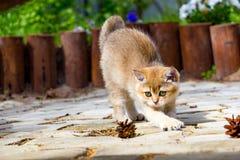 Милый золотой великобританский котенок протягивает вне идти в сад стоковая фотография rf