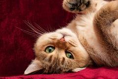 Милый золотой великобританский кот с зелеными глазами лежит вверх ногами стоковые изображения