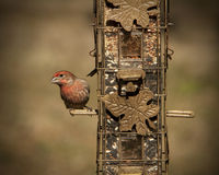 Милый зяблик дома - mexicanus Haemorhous Стоковые Фото