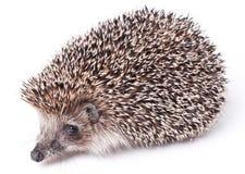 милый изолированный hedgehog немногой белому Стоковые Изображения