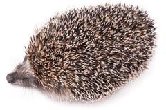 милый изолированный hedgehog немногой белому Стоковые Фото