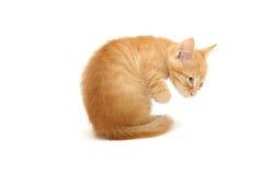 милый имбирь изолировал белизну котенка стоковые изображения