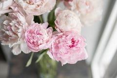 Милый и симпатичный пион Много наслоенных лепестков Предпосылка пука бледная - розовые пионы цветут светлая - серая обои Стоковые Фотографии RF
