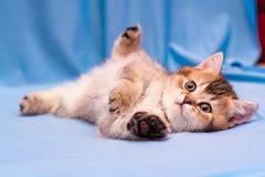 Милый коричневый великобританский котенок лежит вверх ногами на голубой предпосылке стоковое фото rf