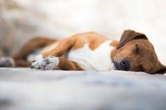 Милый коричневый маленький щенок спать снаружи на летний день стоковое изображение rf