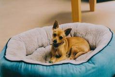 Милый коричневый миниатюрный pinscher кладя на свою кровать в доме стоковые фотографии rf