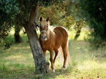 Милый коричневый портрет пони, связанный к дереву Стоковые Изображения