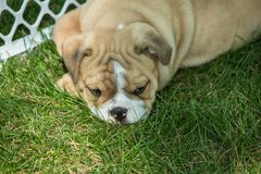 Милый коричневый цвет сморщил щенка бульдога в ограженной игровой площадке стоковая фотография rf