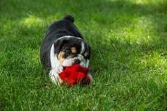 Милый коричневый цвет сморщил щенка бульдога в траве играя с игрушкой стоковое фото rf