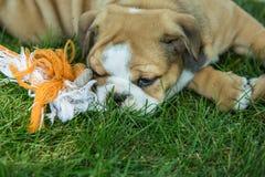 Милый коричневый цвет сморщил щенка бульдога играя с игрушкой любимчика стоковые фотографии rf