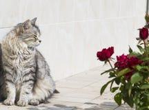 Милый котенок внешний, сибирская серебряная женщина Стоковое Фото
