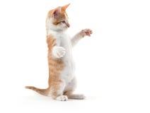 Милый котенок на играть задних ног Стоковые Изображения