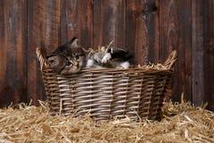Милый котенок с соломой в амбаре Стоковые Фотографии RF