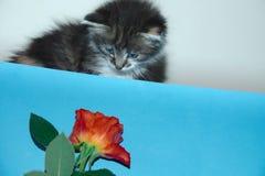 Милый котенок fascinated красной розой стоковые фото