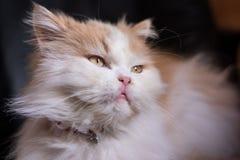 Милый кот белизны и имбиря стоковые фотографии rf