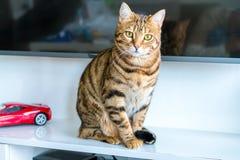 Милый кот Бенгалии смешной играя дома Стоковая Фотография