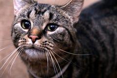 Милый кот внутри помещения смотря в расстояние стоковая фотография rf