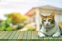 Милый кот тайский на деревянной расплывчатой предпосылке используя обои или заднюю часть Стоковые Фотографии RF