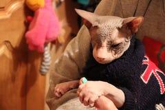 Милый кот Donskoy Стоковое Фото