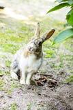 Милый кролик зайчика с гортензией в саде Стоковые Фотографии RF
