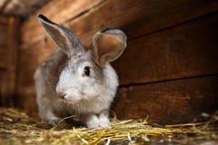 Милый кролик хлопающ из hutch стоковые фото