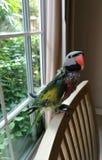 Милый крупный план попугая Стоковые Фотографии RF