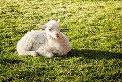 милый лежать овечки Стоковые Изображения RF