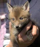 милый лисицы котенка красного цвета vulpes очень Стоковое Изображение RF