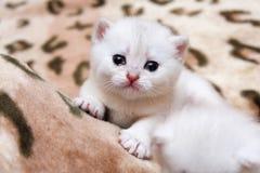 Милый маленький белый великобританский плакать котенка стоковая фотография
