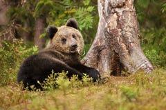 Милый маленький евроазиатский играть новичка бурого медведя Стоковое Изображение