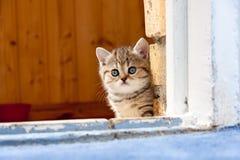 Милый маленький коричневый великобританский котенок сидя во входе кирпичной стены стоковое изображение