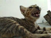 Милый маленький кот который зевает стоковые изображения rf