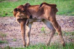 Милый маленький красный гибрид коровы икры стоит вверх от своих проломов Стоковые Изображения