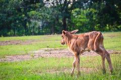 Милый маленький красный гибрид коровы икры стоит вверх от своих проломов Стоковое Изображение