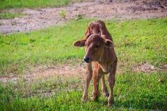 Милый маленький красный гибрид коровы икры стоит вверх от своих проломов Стоковые Изображения RF