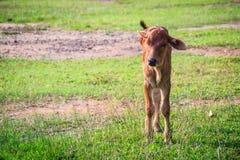 Милый маленький красный гибрид коровы икры стоит вверх от своих проломов Стоковые Фотографии RF
