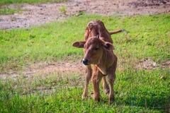 Милый маленький красный гибрид коровы икры стоит вверх от своих проломов Стоковые Фото
