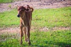 Милый маленький красный гибрид коровы икры стоит вверх от своих проломов Стоковая Фотография