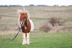 Милый маленький пони пася в стороне страны Стоковые Изображения